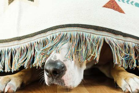 The dog is hiding under the sofa and afraid to go out. The concept of dog's anxiety about thunderstorm,